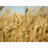 Семена озимой пшеницы Таня, Тимирязека-150