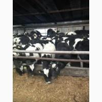 Продажа коров дойных, нетелей молочных пород в Таджикистане
