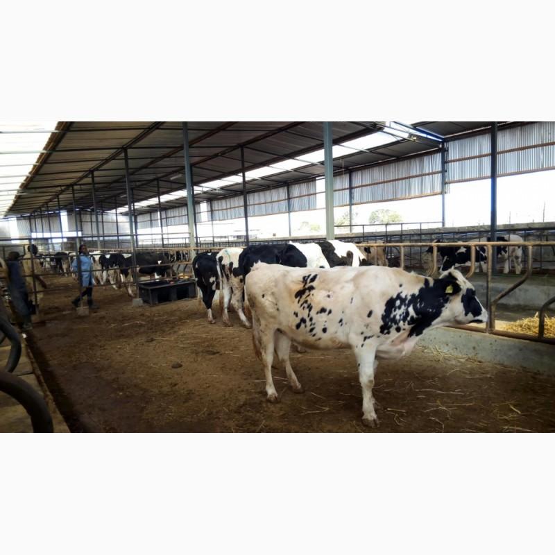 Фото 3. Продажа коров дойных, нетелей молочных пород в Таджикистане