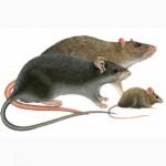 Бактокумарин - эффективное средство от мышей и крыс