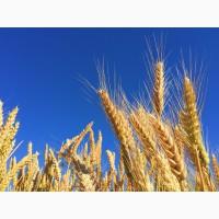 Семена озимой пшеницы сорт Гомер