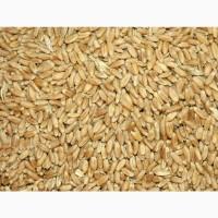 Пшеница 3 класс, мягкая яровая, 250 тонн