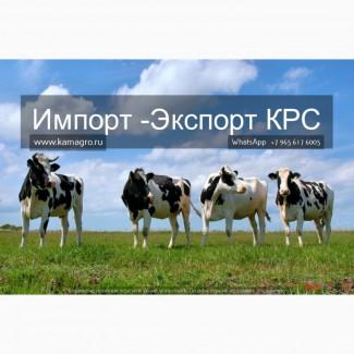 Продажа коров дойных, нетелей молочных пород в Турции