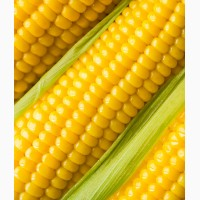 Семена кукурузы спирит