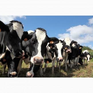 6000 голов КРС в продаже молочных нетелей Черно-пестрой породы