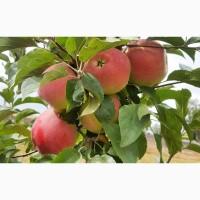 Саженцы яблони оптом из питомника «Горизонт»