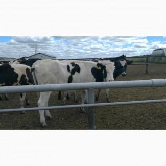 Продажа коров дойных, нетелей молочных пород в Иране