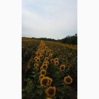 Семена подсолнечника гибрид Эдванс