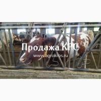 Продажа КРС России странам СНГ Молоные нетели КРС Продажа племенных нетелей
