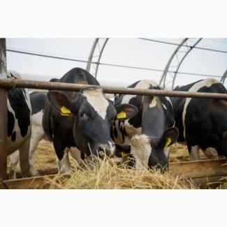 8000 голов КРС в продаже молочных нетелей Голштинизированной черно пестрой породы