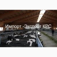 Продажа коров дойных, нетелей молочных пород в Абхазии
