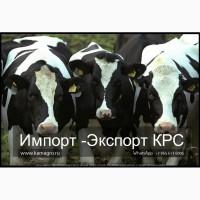 Продажа коров дойных, нетелей молочных пород в Белоруссии
