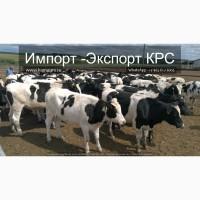 Продажа коров дойных, нетелей молочных пород в Украине