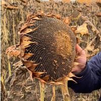 Семена гибридов подсолнчника под ЭКСПРЕСС(50г/га) и ЕВРОЛАЙТНИНГ