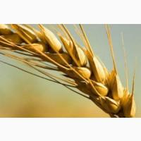 Семена озимой пшеницы Юка, Юбилейная 100
