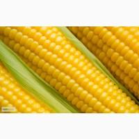 Гибриды семена Кукурузы Нови Сад(NS), Сербия
