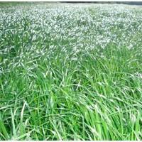 Семена фестулолиума Изумрудный ЭС, РС1, РСт