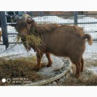 Продам камерунского карликового козла