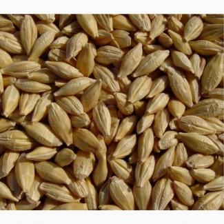 Семена ячменя Грис ЭС/РС1