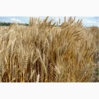 Продаем семена пшеницы озимой