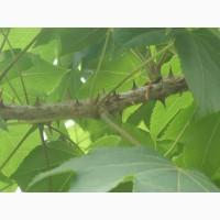 Продам Диморфант-Калопанакс белый орех корень кора листья сухие