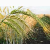 Семена тритикале озимой урожая 2019 г