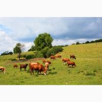 Продаю бычков Герефордской породы на доращивание