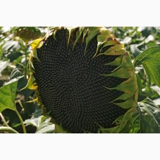 Семена гибрида подсолнечника НСХ 6012 (EXPRESS) Сербской селекции