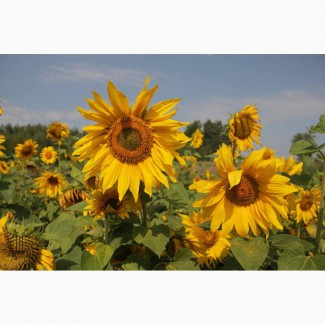 Гибриды семена подсолнечника НК Фортими (Сингента, Syngenta) (Clearfield)