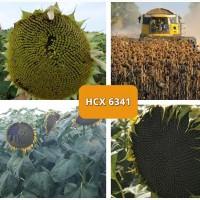 Семена гибрида подсолнечника НСХ 6341 (CLEARFIELD) Сербской селекции