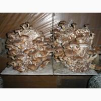 Субстраты (грибные блоки) вешенки