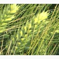 Семена озимой пшеницы Аскет, Веха, Граф, Дуплет, Есаул, Лига 1, Одари, Шеф, Этюд и Юка