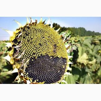 Семена гибрида подсолнечника НСХ 6343 (CLEARFIELD) Сербской селекции
