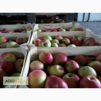 Закупаем оптом яблоки