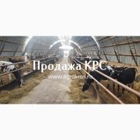Продажа КРС оптом по России Продажа молочных нетелей
