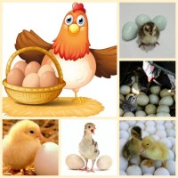 Сельскохозяйственная птица: цыплята, индюшата, цесарята, утята, перепелята