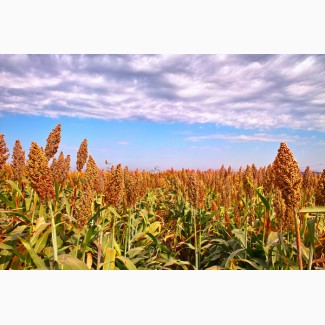 Продаем семена сорго зернового, сорго сахарного и сорго-суданский гибрид