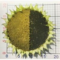 Семена подсолнечника гибриды Лимагрен LG