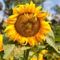 Семена подсолнечника гибрид Гелиос