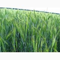 Продаем семена тритикале озимой