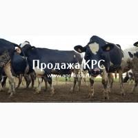 Продажа оптом по России Молочные нетели КРС