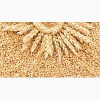 Поставляю пшеницу (5кл. ) FCA, FOB