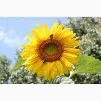 Гибриды семена подсолнечника ЛГ 5654 (Лимагрейн, Limagrain) (Clearfield)