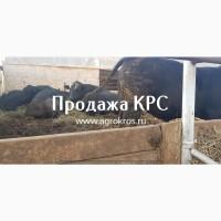 Продажа КРС по России странам СНГ Молочные породы КРС