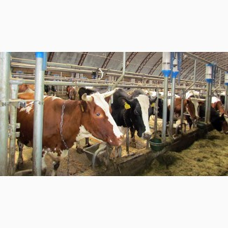Продадим чистопородный крупно-рогатый скот голштинской породы