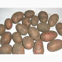 Семенной картофель-III репр