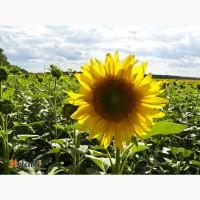 Гибриды семена подсолнечника ЛГ 59580 (Лимагрейн, Limagrain) (Express)