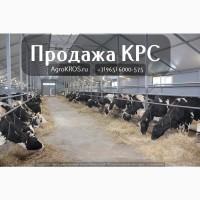 Продажа КРС по России Молочные нетели КРС