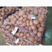 Картофель оптом. Брянская область