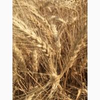 Семена озимой пшеницы сорт Лидия ЭС